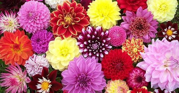 ダリアの花言葉☆色によっても違う7つのメッセージ