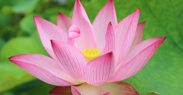 ハスの花の花言葉☆不思議な魅力を放つ、7つの豆知識