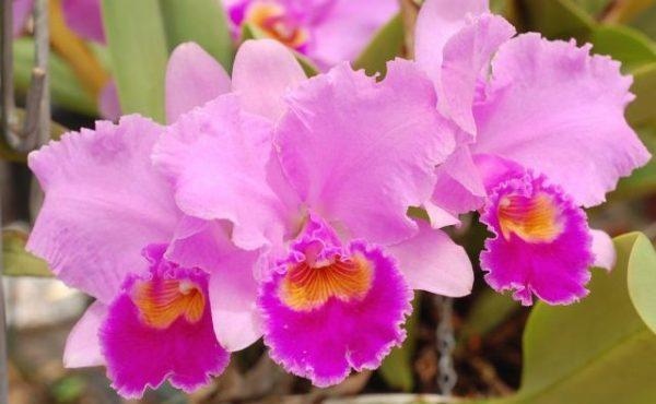 カトレアの花言葉を使って大切な人に愛を伝える5つの方法