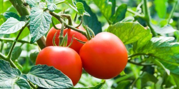 トマトの育て方に必要な5つの知識