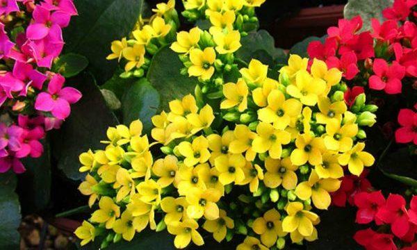 カランコエの花言葉と名前に由来する7つのこと