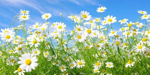 デイジーの花言葉を色別に使い分けて贈る5つのコツ
