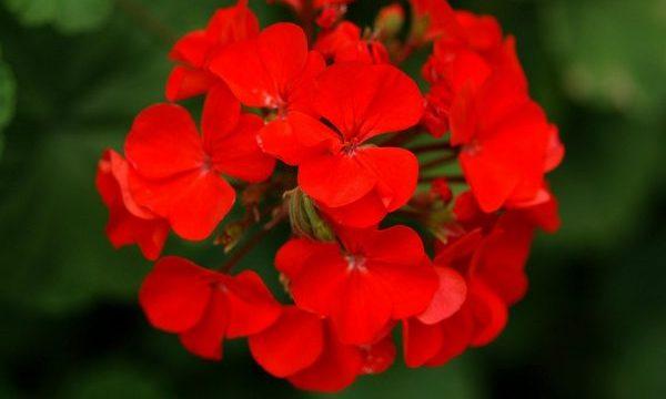 ゼラニウムの花言葉で相手を幸せにする5つの方法