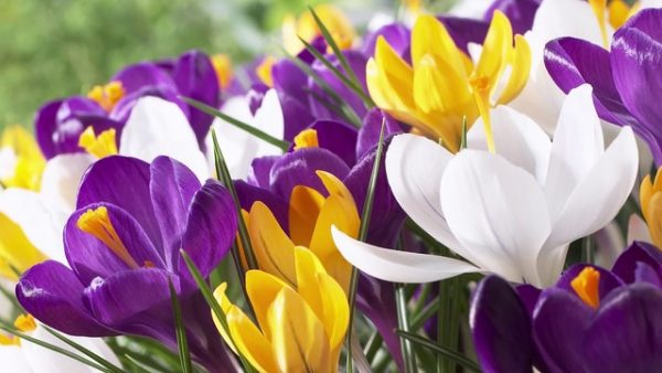 クロッカスの花言葉を使って気持ちを伝える5つの方法