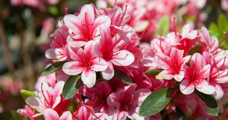アザレアの花言葉を色別に使い分けて贈る7つの意味