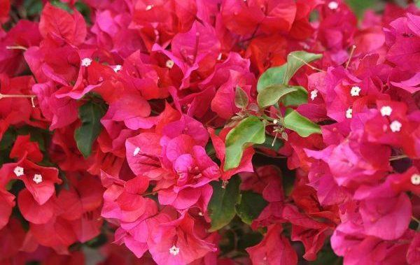 ブーケンビリアの花言葉で相手を幸せにする5つの方法