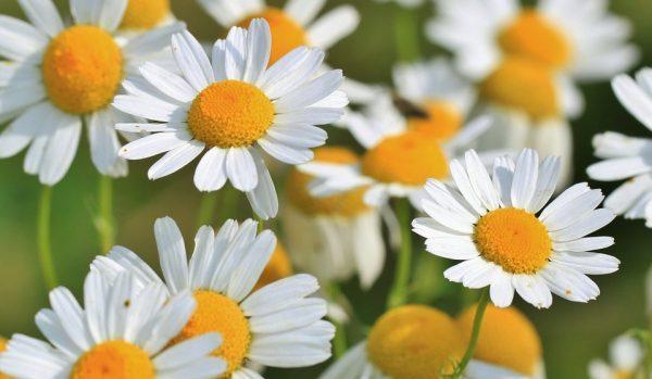 カモミールの花言葉に隠された5つの意味