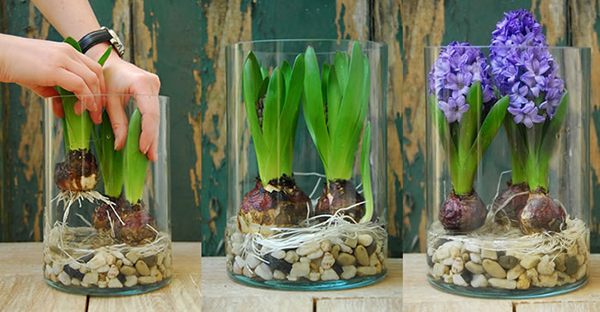 ヒヤシンスの水栽培に挑戦☆可愛い花を咲かせる方法