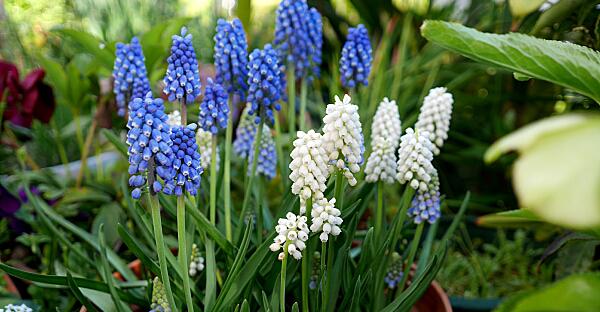 ムスカリの育て方☆室内でもキレイに咲かせる7つの手順