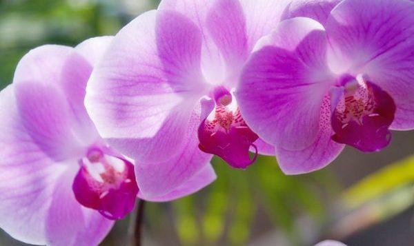 胡蝶蘭の育て方に必要な5つのポイント