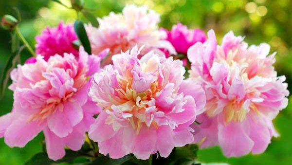 芍薬の花言葉を使って気持ちを伝える5つの方法