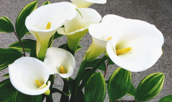 カラーの花言葉に隠された5つの意味