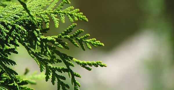 シダーウッドで森林浴☆リラックス効果を促す秘密と豆知識