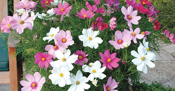 コスモスの育て方☆初心者でも、鉢植えで花を咲かせる手順
