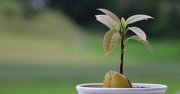 アボカドの育て方☆残した種で栽培を楽しむ方法とは