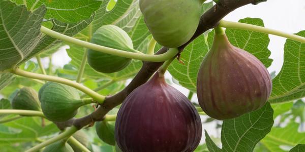 イチジクの育て方☆鉢植えでも収穫できる手順とは
