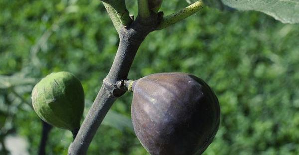 イチジクの育て方☆家庭菜園で簡単に栽培するポイント