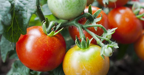 トマトの育て方から始める家庭菜園☆収穫までの手順とは