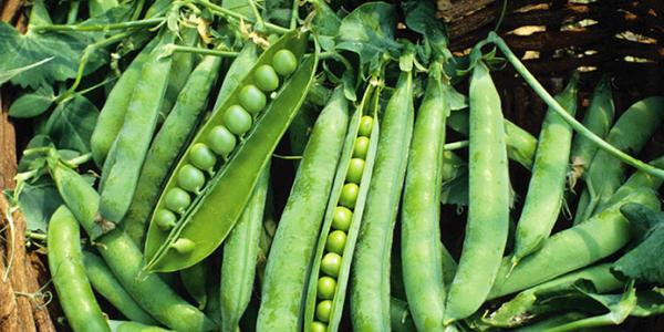 スナップ エンドウ 収穫 時期