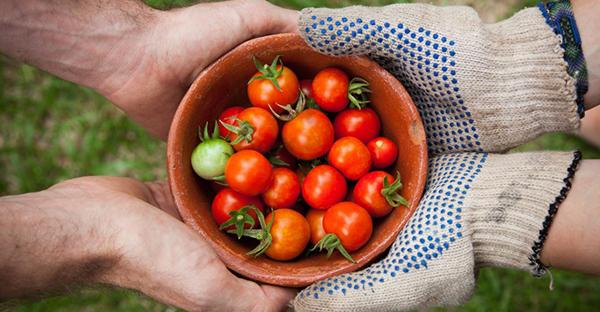 トマトの栽培から始める家庭菜園☆初心者さんの7つのコツ