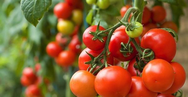 ミニトマトを栽培する☆子どもと楽しむ基本のステップ