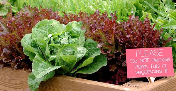 レタスの育て方から始める家庭菜園☆収穫までのステップ
