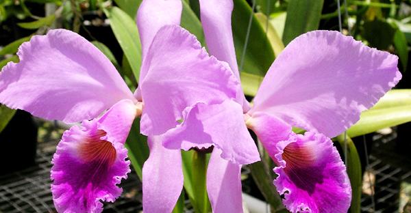 カトレアの育て方☆初心者でもきれいな花を咲かせるコツ