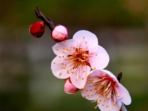 梅の花言葉に隠された5つの意味 ...