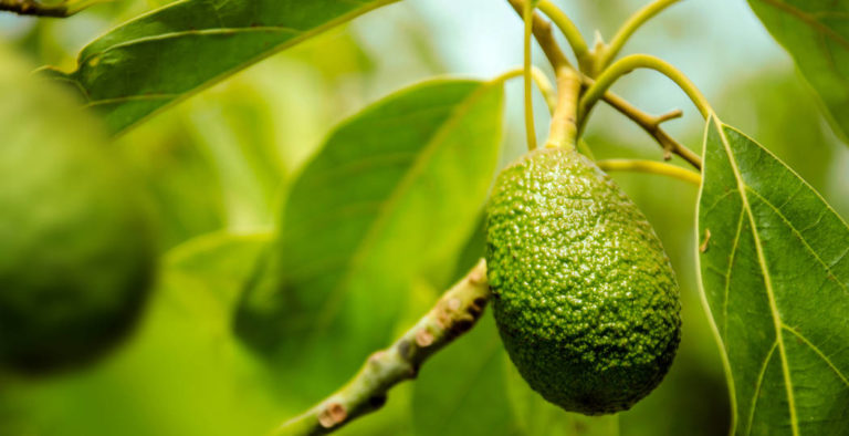 美味しい実がなる アボカドの育て方