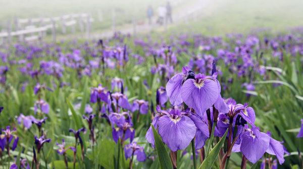 6月が見頃の花 オススメの名所 【関東編】