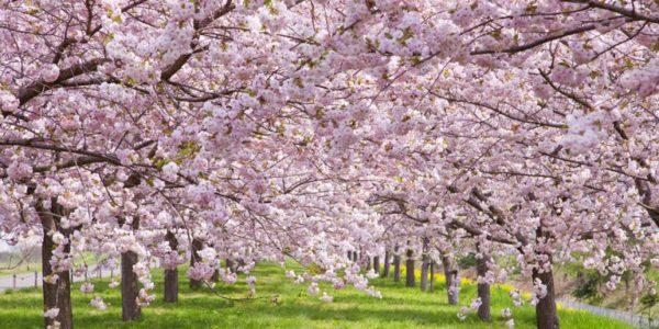 4月が見頃の花 オススメの名所 【関西編】
