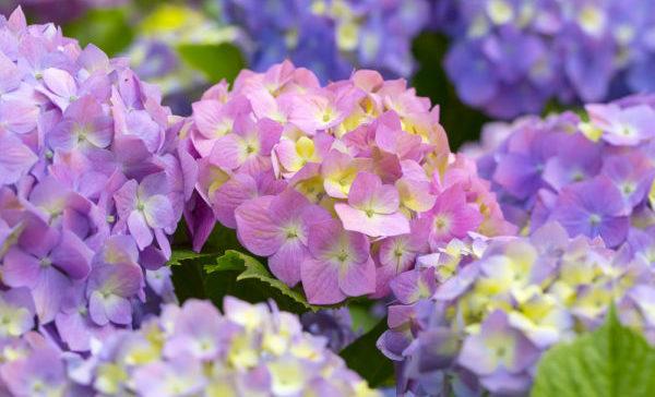 綺麗に花を咲かせるあじさいのイメージ