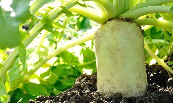 美味しそうな大根が成長しているイメージ