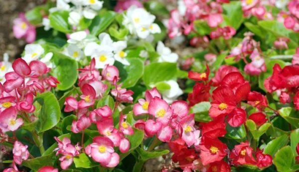 ベコニアの花が綺麗に咲いてるイメージ