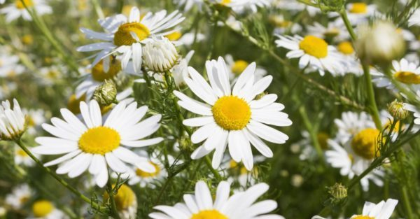 綺麗にカモミールの花が咲いているイメージ