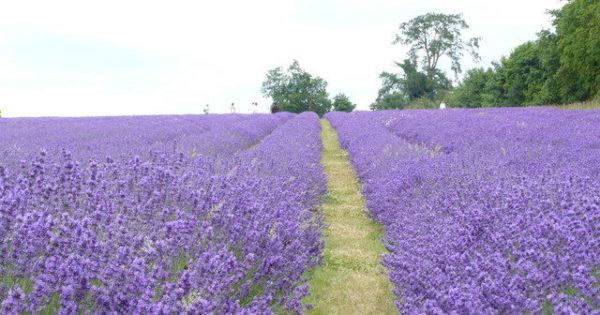 南仏のお庭をお手本にした、華やかなラベンダーの育て方