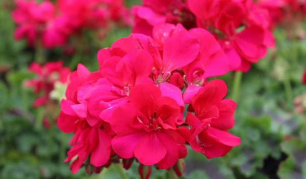 ゼラニウムの花のイメージ