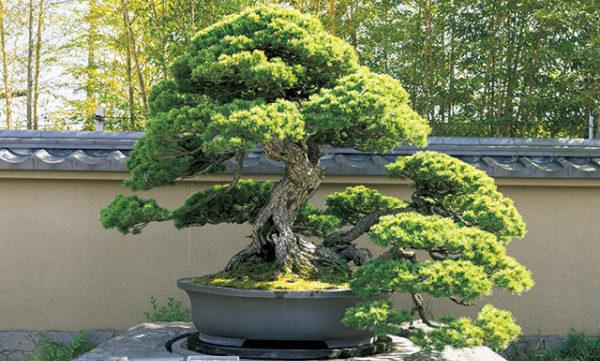 立派に育つ盆栽のイメージ