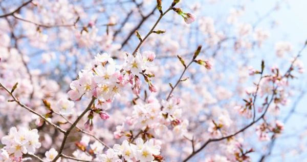 華やかに咲く桜のイメージ