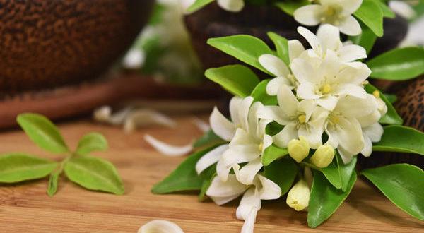 ジャスミンの花が綺麗に咲いているイメージ