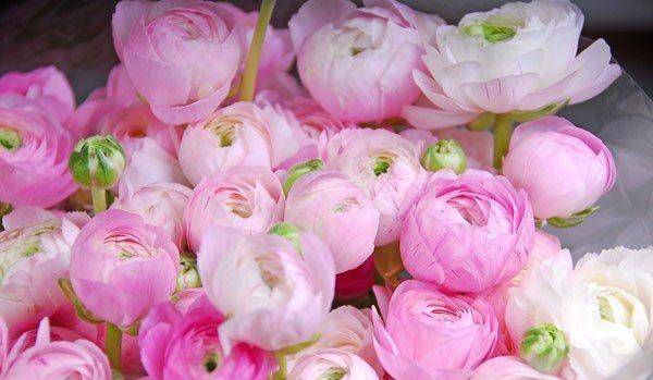 ラナンキュラスが綺麗に咲くイメージ