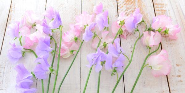花が咲いているスイートピーのイメージ