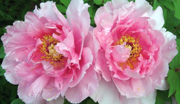 綺麗に咲く牡丹のイメージ