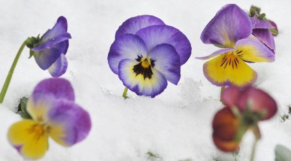雪と元気に咲くパンジーのイメージ