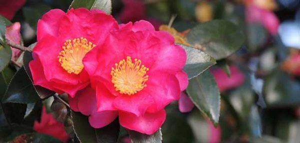 山茶花の花が綺麗に咲くイメージ
